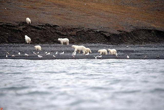 скопление белых медведей в заповеднике