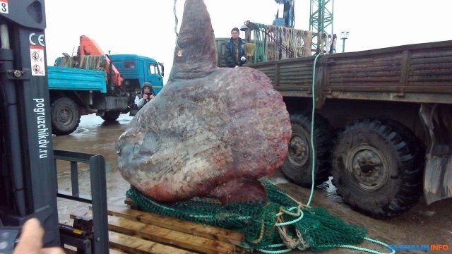 Рыбаки поймали огромную рыбу