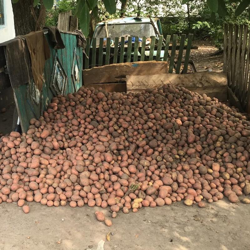 картошку капали