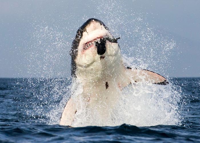 Самая большая белая акула