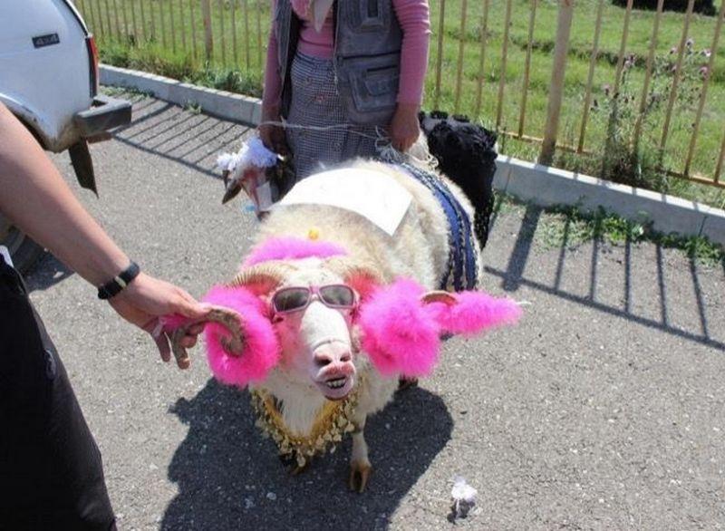 В Дагестане провели конкурс на самую красивую овцу (5 фото)