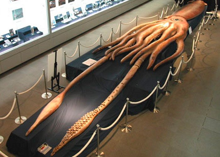 Самый большой кальмар в мире фото